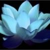 Žolčni kamni - Zadnja objava: Beli lotos